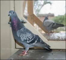 Lovatt blue check cock