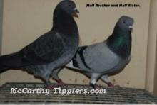 Dark Grizzle Shannon Click with Blue Hen WF, (Half brothers)